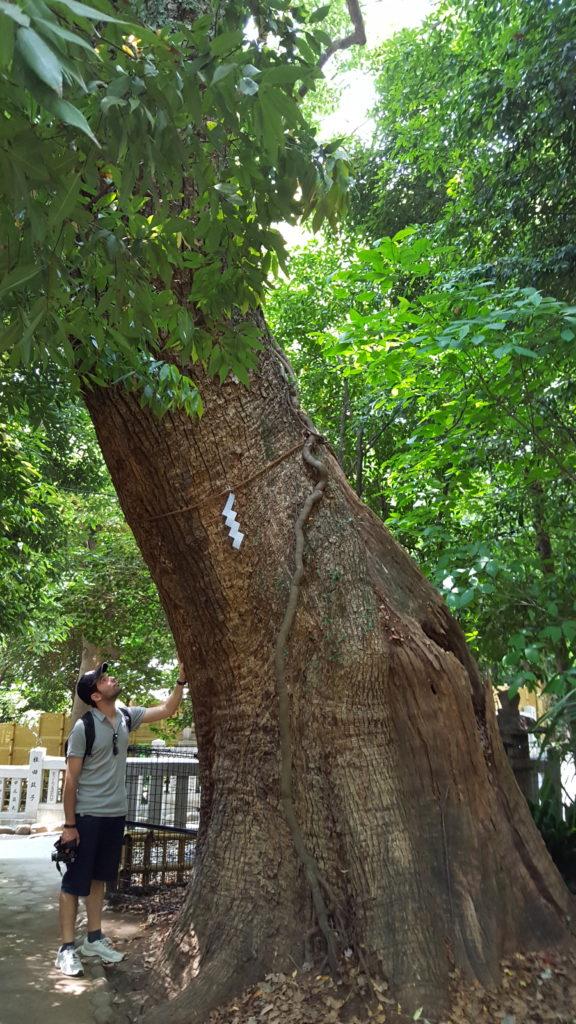 Un dels arbres mil·lenaris