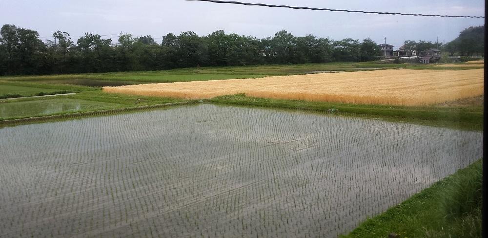 Camps d'arròs anegats d'aigua
